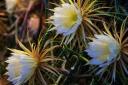 В Ботаническом саду зацвела миниатюрная «царица ночи»